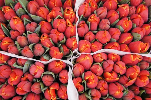 des bulbes de tulipes